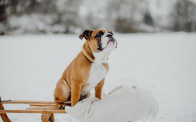 English Bulldog Welpe Kuu mit Gözde